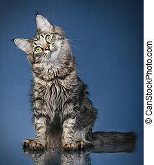 months),  (6,  Maine,  coon, gato