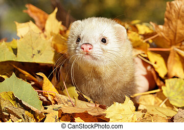 Ferret in autumn leaves