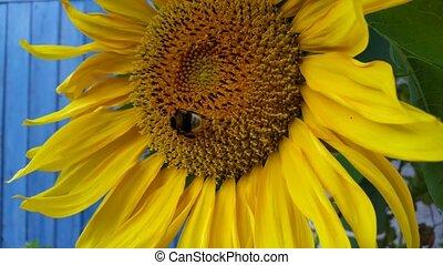 bee sat on a sunflower, macro