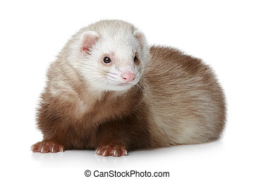 Brown Ferret lying on a white background