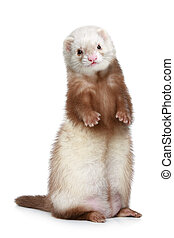 Brown Ferret standing on a white background