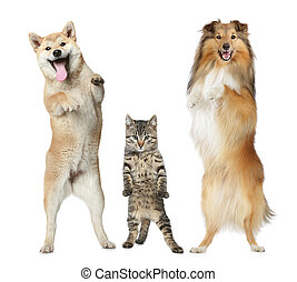 Two dogs and cat stand on hind legs - Shetland sheepdog,...