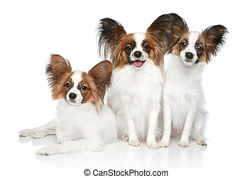 Papillon dog puppies on a white background