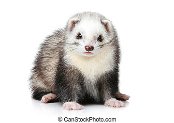 Ferret on a white background (front view)