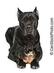 Cane Corso dog with small rabbit on a white background -...