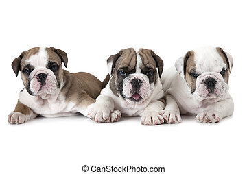 Purebred English Bulldog puppies over white - Three purebred...