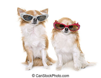 chihuahuas and glasses - purebred chihuahuas and glasses in...