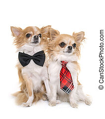 chihuahuas with tie - purebred chihuahuas with tie in front...