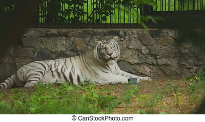 White tigress - Gorgeous white tigress lying on the ground