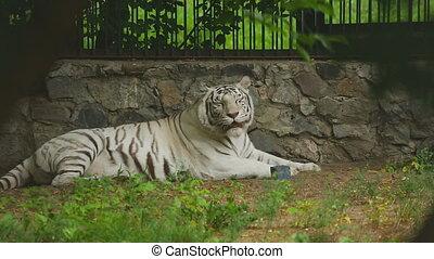White tigress - Gorgeous white tigress lying on the ground