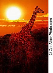 Giraffe in the savanna at sunset - Wild Giraffe in the...