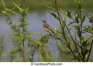 yellow wagtail on a branch - yellow wagtail sitting in...