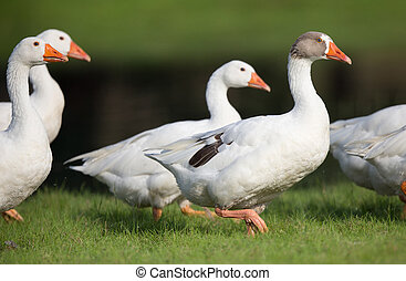 Domestic geese walking on pasture - Small group of white...
