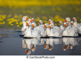 Domestic geese flock on the lake - Group of white domestic...