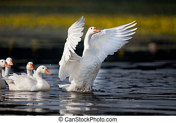Domestic geese on the lake - Group of white domestic geese...