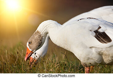 Domestic geese grazing - Two white domestic geese grazing on...