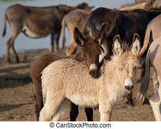 Cute playful donkeys - Two cute donkey baby animals standing...