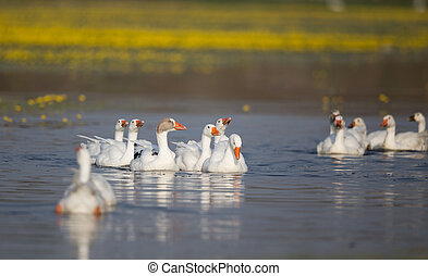 Domestic geese flock on the lake - Groups of white domestic...