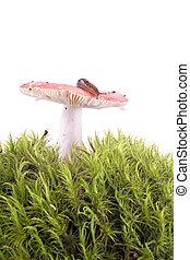 Slug on Russula - Animal Slug on mushroom russula hat...