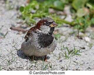 House sparrow Passer domesticus - House sparrow stitting on...