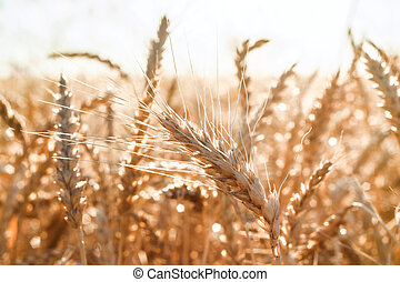 An ear of wheat - Black and white ear of wheat in a field