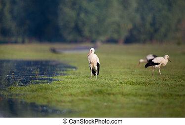 blanco, Cigüeñas, al lado de, lago