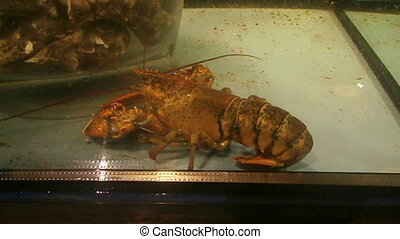Crawfish in aquarium