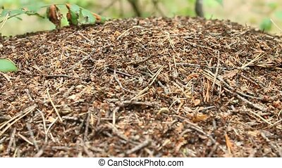 ant hill in the forest macro - life in the big ant hill in...