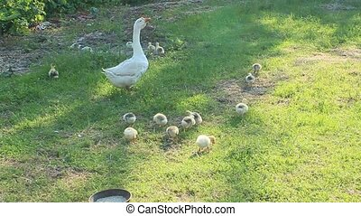 goose and goslings on the grass