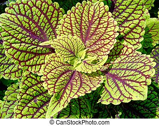 Green and red coleus in a garden