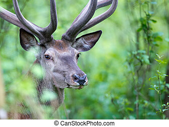 Red deer portrait in forest - Portrait of careful and afraid...