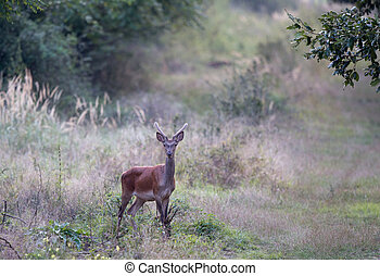 Young red deer in forest - Young scared red deer with small...