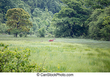 Red deer family walking on meadow - Hind (red deer female)...