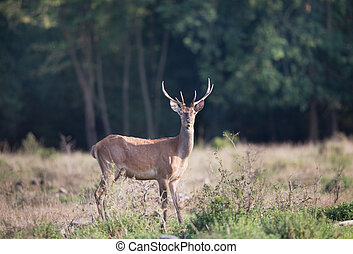 Red deer standing in forest - Young scared red deer with...
