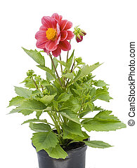 "Small flower in a small pot - Isolated on white "" Dwarfish..."