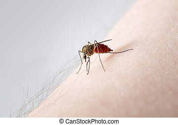 Mosquito - A Mosquito sucking blood on a hairy arm