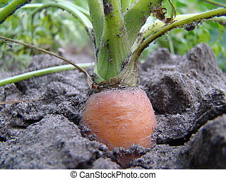 carrots - carrot is a biennial plant, a subspecies of the...