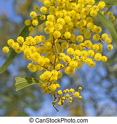 Australian Icon Golden Wattle Flowers blooming in spring...