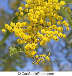 Australian Icon Golden Wattle Flowers blooming in spring...