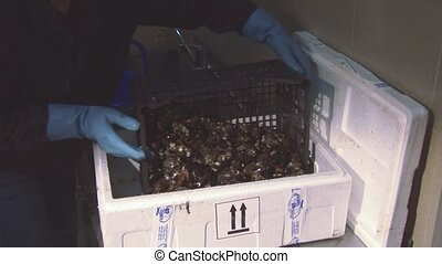 Man in glove put clean raw mussels from plastic box in white...