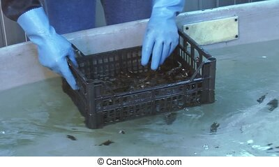 Man in gloves put down raw mussels in plastic box on bottom...