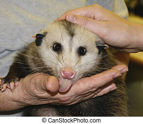 Possum Tongue - A possum licking a woman\'s hand.