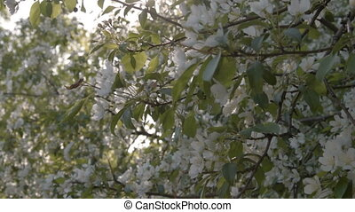 Blooming apple trees - Apples trees in blossom on sunny...