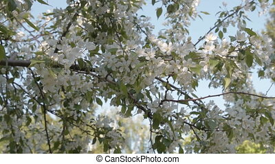 Blooming apple tree - Apple tree branches in blossom. Spring...