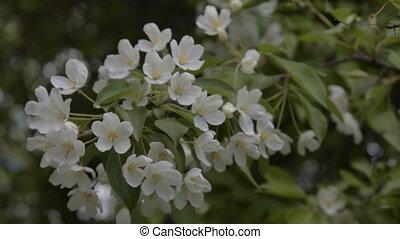Spring blossom of apple tree