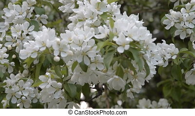 Blooming apple tree branch - Apple tree covered with white...