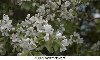 Spring apple tree blossom - Blooming apple tree Branch with...