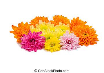Chrysanthemum flower head