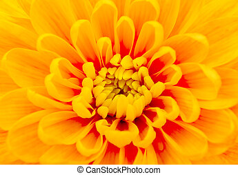 beautiful yellow chrysanthemum close-up