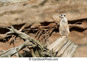 meerkat or suricate - african mammal meerkat or suricate...